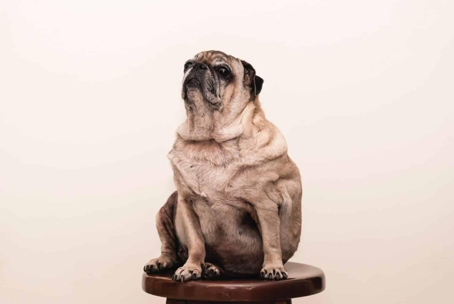 Te dikke hond die op een stoel neerzit.
