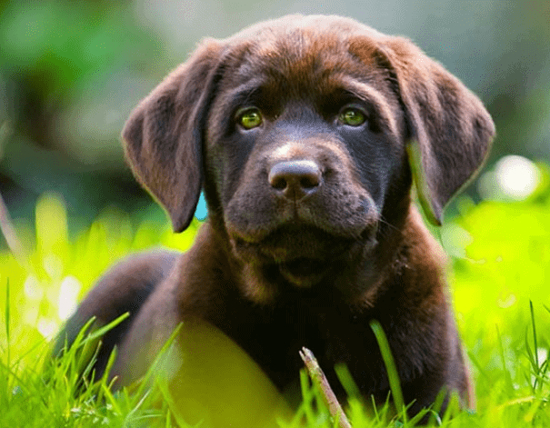 Labrador die tussen het lang gras staat.
