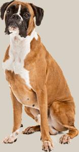 Zittende hond met witte vacht onder haar kin.