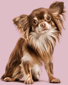 Chihuahua met stralende vacht, kijkt recht in de camera.
