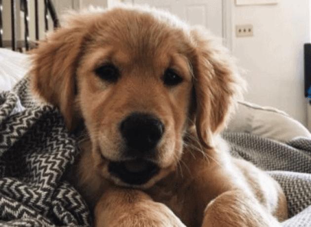 Pup Golden Retriever ligt in de zetel uit te rusten van een leuke dag.