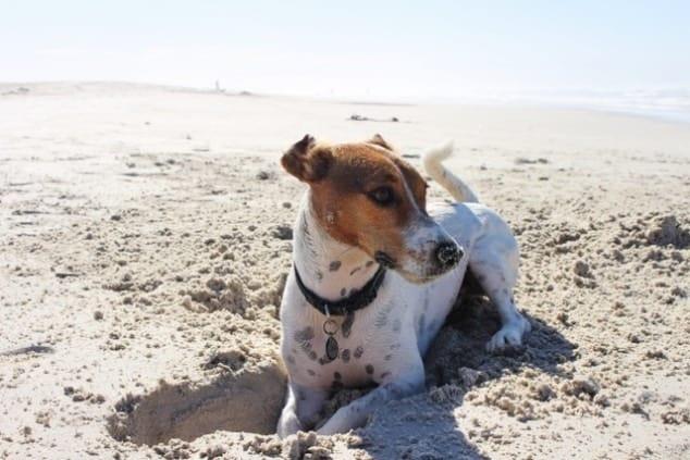 Jack Russel op het strand. Hond graaft put in het zand.