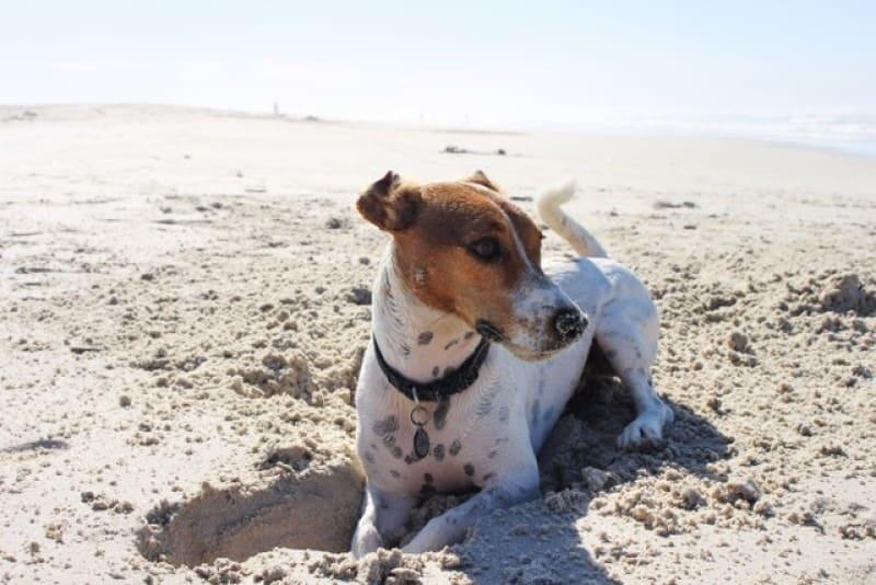 Gravende hond op het strand.