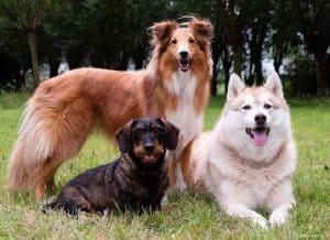 De drie mascotte's van BuddyBites. Sky is een Sheltie, Lune een Husky en Hetty is een Teckel. Deze honden staan ook op de doos van BuddyBites.