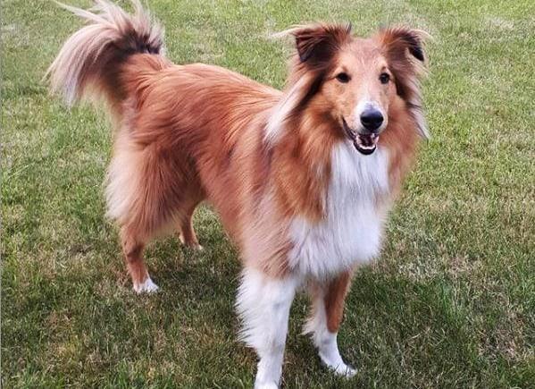 Sky, een Sheltie die een allergie heeft en steeds aan zijn vacht krabte. Het was erg moeilijk om gezonde hondenvoeding op maat te vinden.