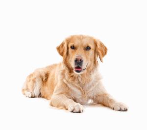 Golden retriever die neerligt en wacht op haar hondenvoeding.