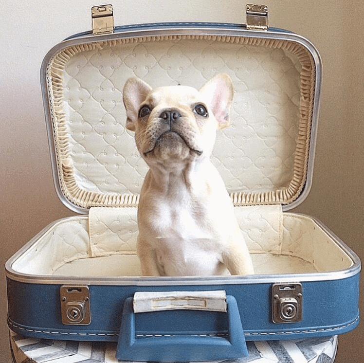 Hond die in reiskoffer zit en kijkt naar zijn baasje.