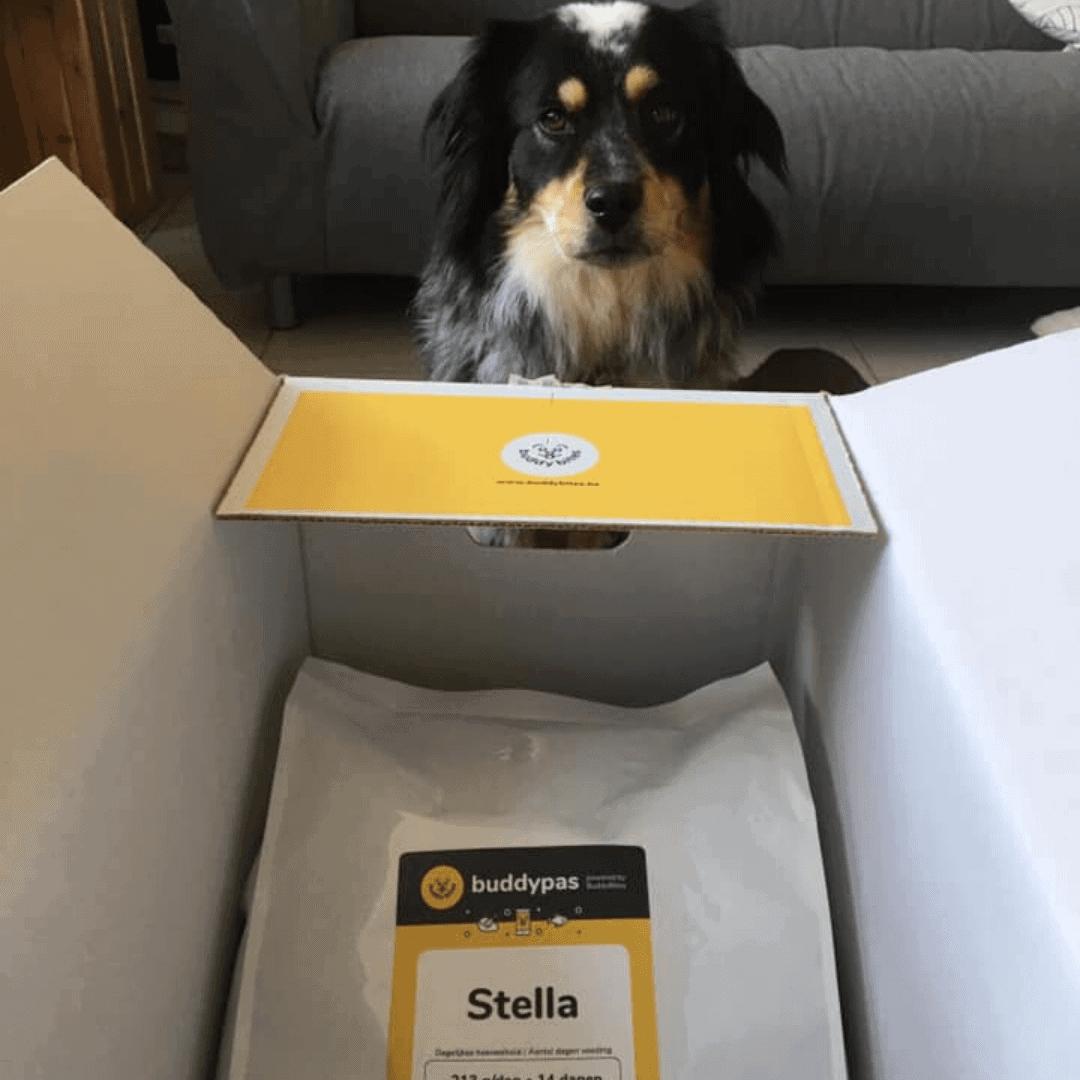 Stella - Kooikerhondje, Australian Shepherd