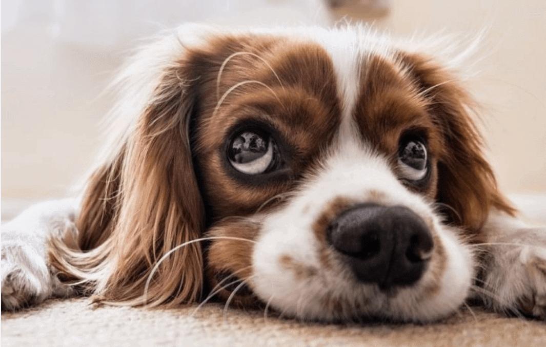 Hond (bruin en witte vacht) die op de grond ligt en verlatingsangst heeft.