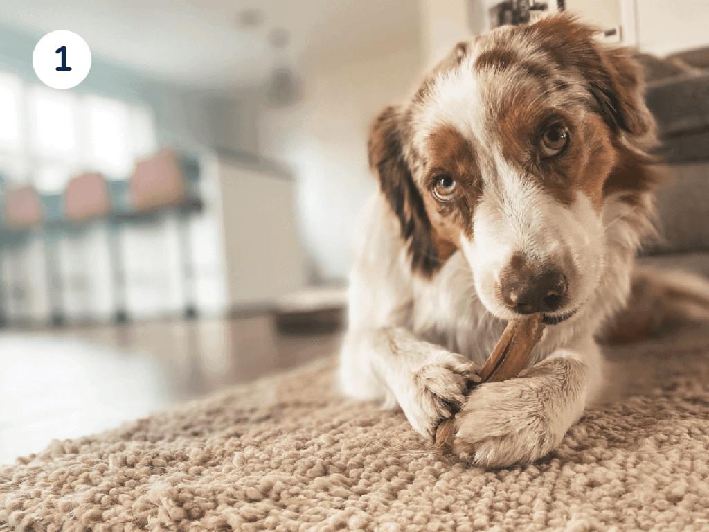 australische herder die een hondensnack opeet