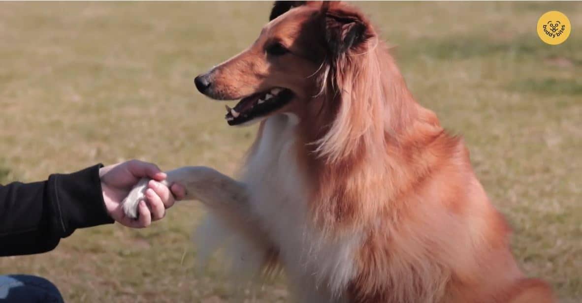 Hoe leer je je hond pootje aan? De mascotte hond van buddybites toont het voor aan onze buddy's. Bekijk deze video en leer stap voor stap hoe je jouw hond pootje aanleert.