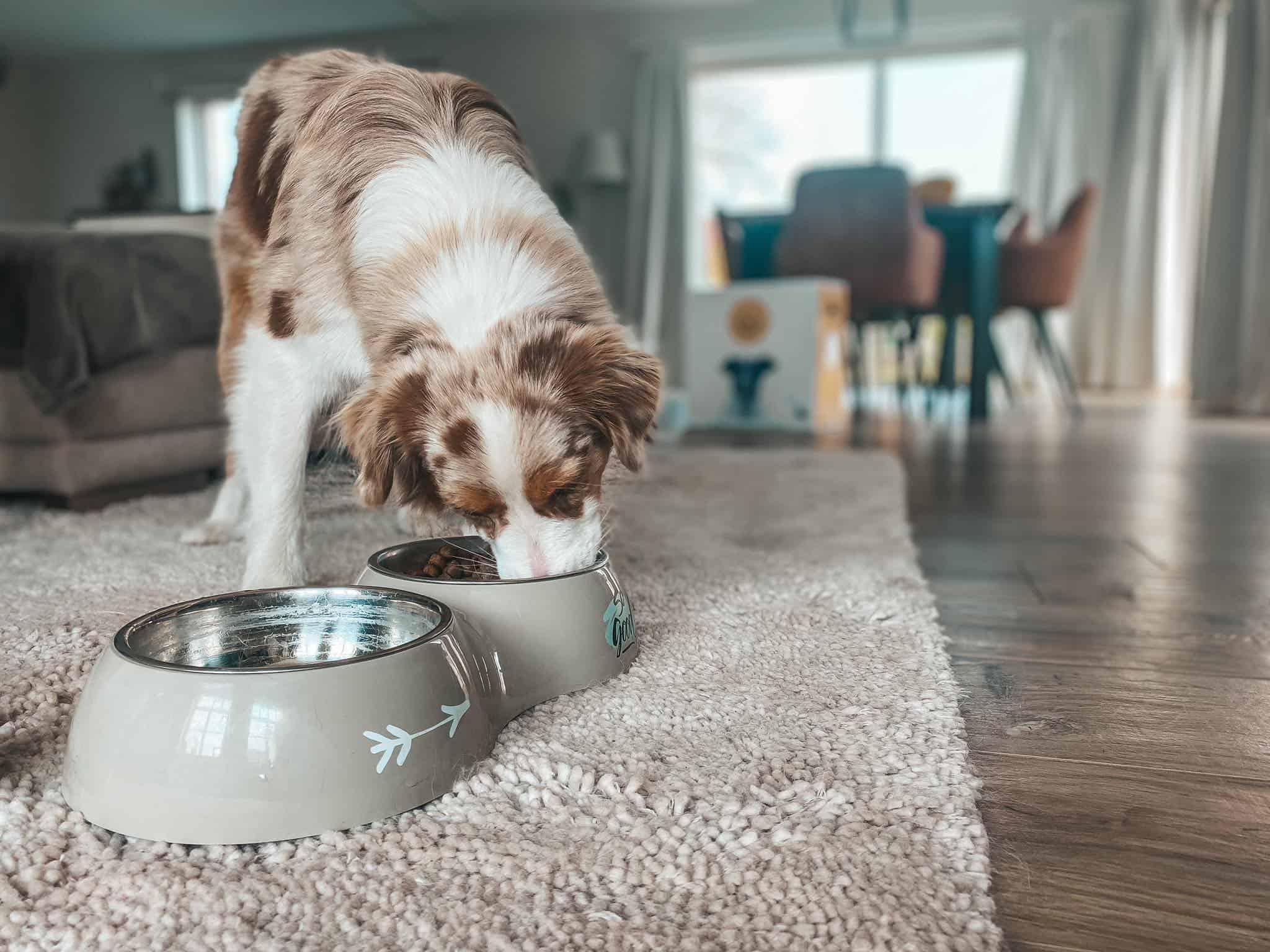 Australische herdershond eet de juiste voeding voor zijn vacht
