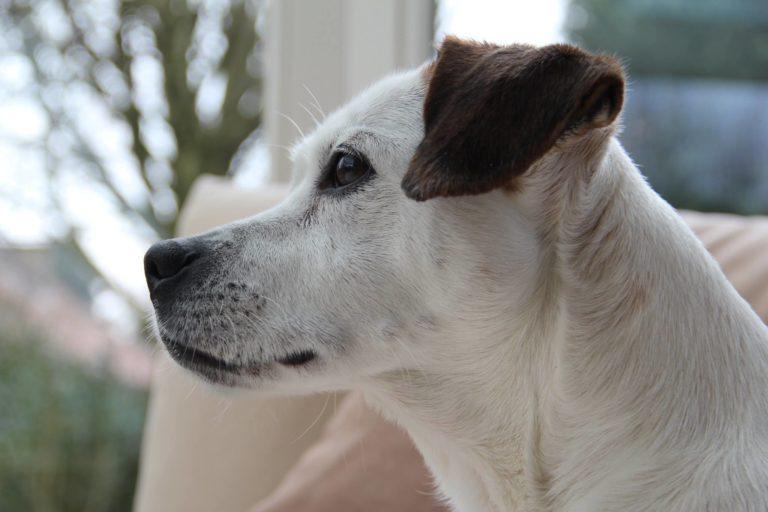 Luca, de hond Boemer van dierendokter Ellen kijkt uit het raam