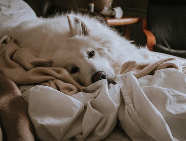 Hond slaapt in het bed van zijn baasje