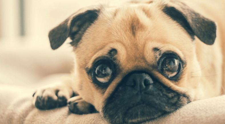 droevige hond die kieskeurig is en niet eet