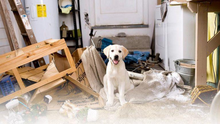 blonde labrador retriever kijkt vrolijk in de camera na het kapot maken van een huis omdat hij geen gezonde hondenbrokken van buddy bites krijgt