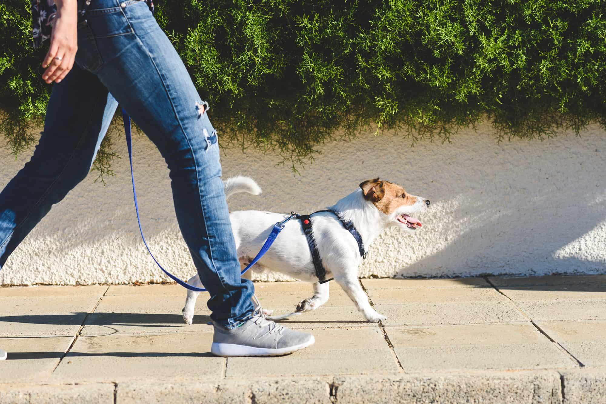 leer je hond aan de lijn lopen met deze handige tips