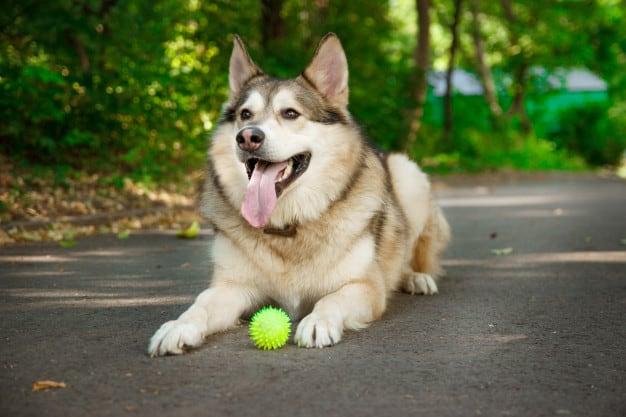 husky met bal die wacht om hem te kunnen apporteren