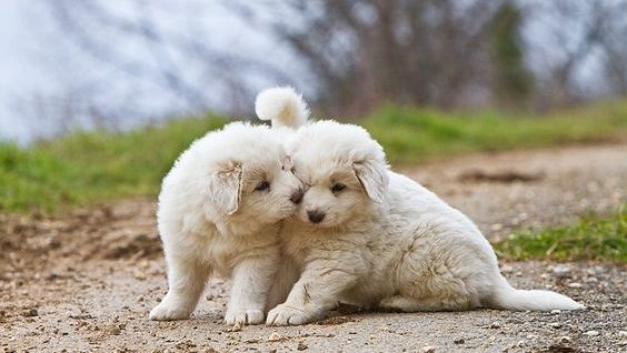 pyrenese mountain puppy