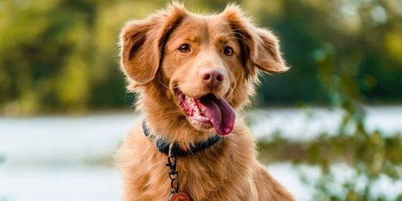 Toller Retriever hond die geen hond verliest