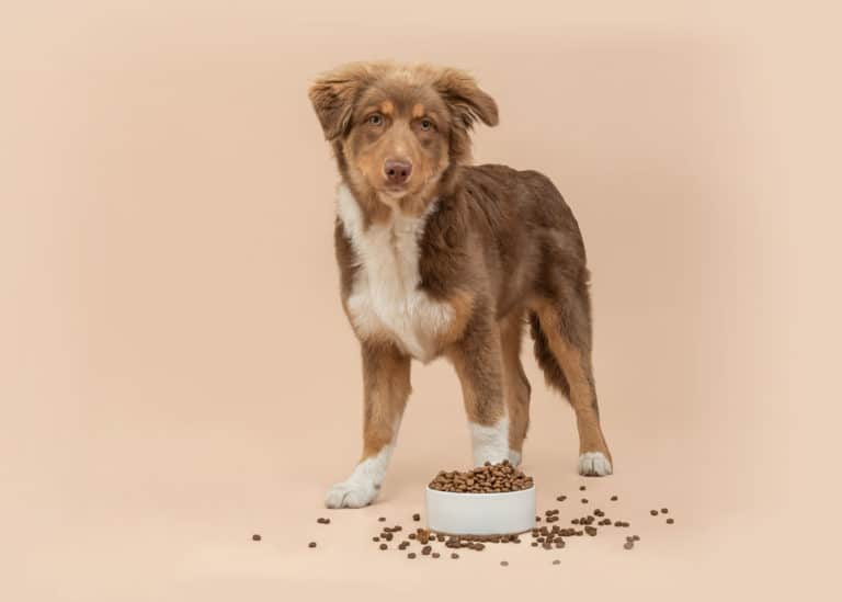 Australische herder puppy met potje hondenvoeding