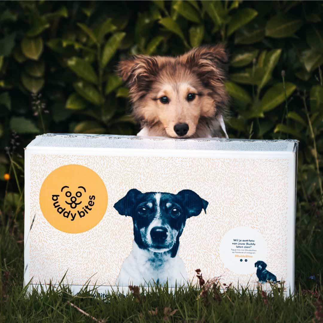 Sheltie eet zijn gepersonaliseerde hondenvoeding op maat van buddybites