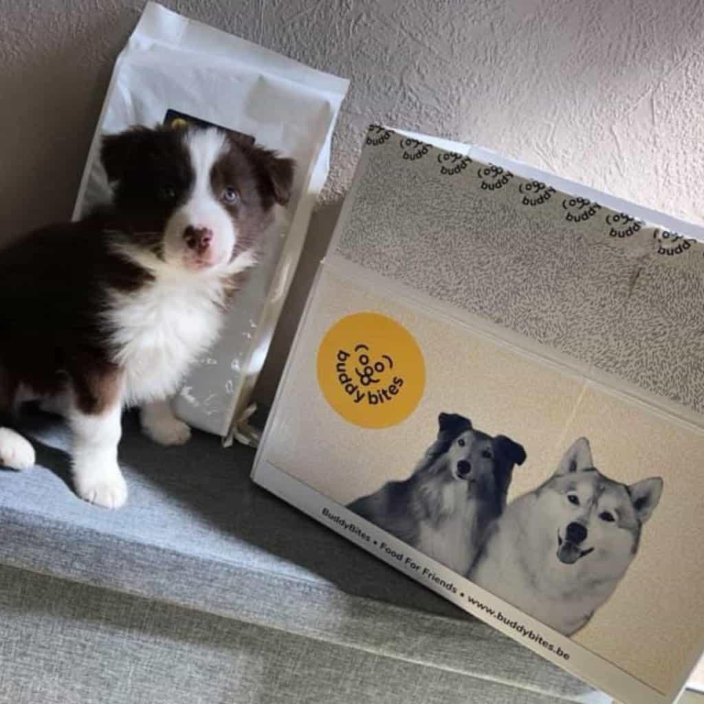 Puppy border collie krijgt voeding van buddybites