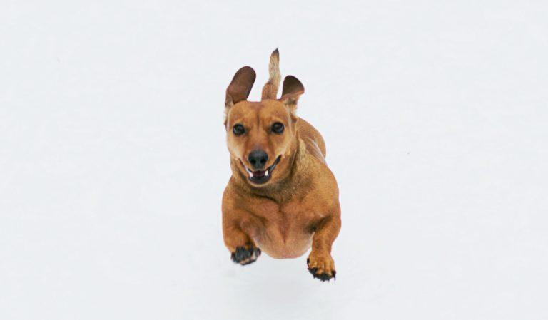 een teckel die enthousiast rent is duidelijk een gelukkige hond