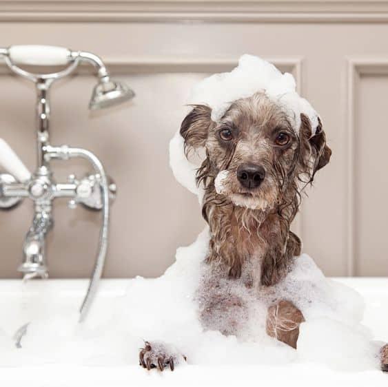 Geen doffe vacht voor deze hond in bad