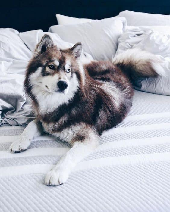 Welke soorten vachtsoorten bestaan er? Husky