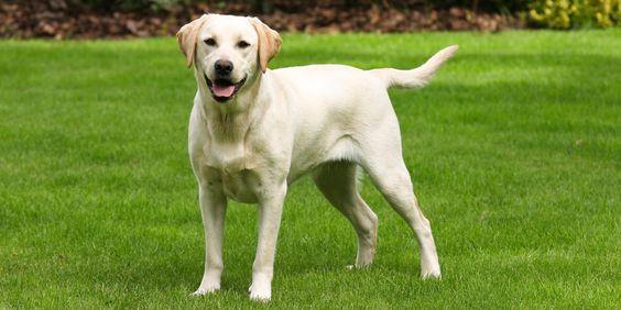 Welke soorten vachtsoorten bestaan er? Labrador