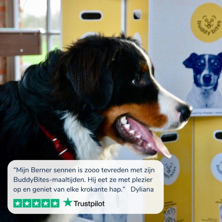 Berner sennenhond met tong uit bek staat voor dozenBuddyBites - de beste hondenvoeding voor Berner sennenhonden
