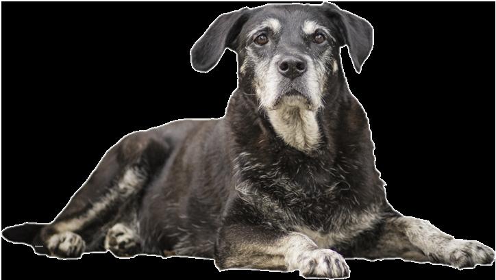 Oudere hond ligt neer - BuddyBites