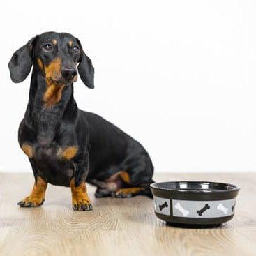 Zwarte tan teckel zit op houten vloer naast voederbak met gezonde hondenvoeding van BuddyBites