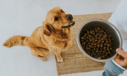 golden retriever die wacht op zijn kom hondenbrokken van buddybites